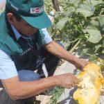Senasa certificó 15 lugares de producción de zapallo en Moquegua