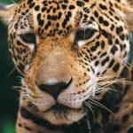 Presentan plan para la conservación del jaguar