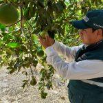 Junín: Previenen ingreso de enfermedades a cultivos cítricos