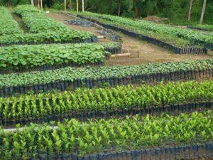 San Martín: Viveros producen más de 100 mil plantas forestales