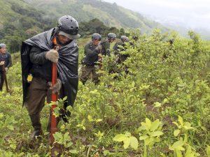 Erradican más de 22 mil hectáreas de hoja de coca en lo que va del año