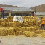 Distribuyen 44 mil pacas de heno a distritos afectados por el volcán Ubinas