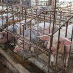 Negocian exportación del cerdo peruano hacia el mercado chino