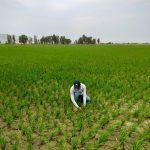 Nueva técnica de riego reducirá malaria en 120 mil hectáreas de arroz del norte del país