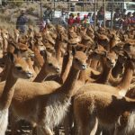 Preparan monitoreo estandarizado de vicuñas en áreas naturales protegidas