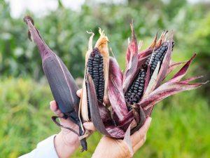 Maíz morado posee mayores propiedades de antioxidantes