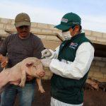Vacunan más de 83 mil cerdos contra la peste porcina en Tacna