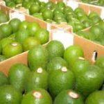 Productores de Palta Hass de la Sierra central podrán exportar a Chile