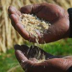 Apurímac: Exportan 22 mil kilos de quinua orgánica a Francia