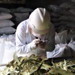 Junín: Inician exportación de hojas secas de eucalipto