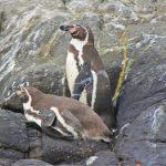 Implementan censo anual del pingüino de Humbolt