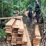 Recuperan más de 1800 pies tablares de madera en la Reserva Comunal El Sira