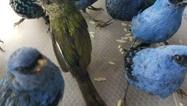 Capturan en Perú a belga con 20 aves silvestres en la maleta