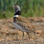Tres nuevas especies incluídas en los apéndices de protección de la CMS