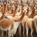 Realizarán censo nacional de vicuñas para el bicentenario