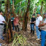 Minagri desarrollará tecnología para proteger al banano orgánico