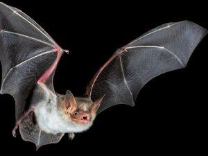 En defensa de los murciélagos: La culpa no fue suya