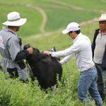 Arequipa: Nacen 44 crías de ganado vacuno en Lluta con programa de mejoramiento genético