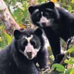 Ayacucho: Iniciarán trabajo de conservación del oso andino