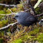 Nuevas especies de aves son descubiertas en áreas naturales protegidas de los andes centrales