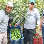 Huancavelica: Productores venderán más de 40 toneladas de palta Hass