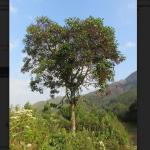 Desarrollan nuevos plantones de la quina con propiedades para combatir enfermedades febriles