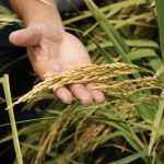 Desarrollan nueva variedad de arroz de alta productividad en el Perú