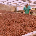 Huánuco: Devida promueve reactivación económica de familias cacaoteras