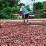 Facilitan comercialización de cinco toneladas de cacao del Monzón