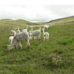 Bajas temperaturas nocturnas afectan a la ganadería andina