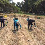 Cooperativa Agraria Valle Huarmey – Culebras inició cosecha de espárragos con protocolos de bioseguridad