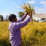 Industria del arroz golpeada por el COVID-19 y el Cambio Climático