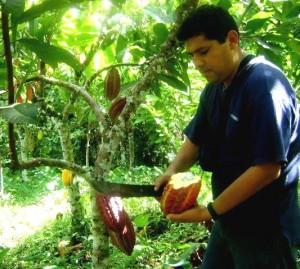 En el VRAE se produce un cacao orgánico de excelente calidad