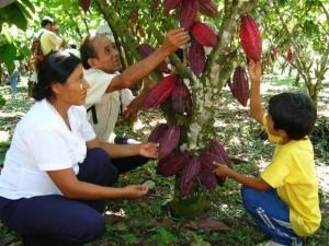 Productores de cacao han llegado a cosechar 3000 kilos de este grano al año.