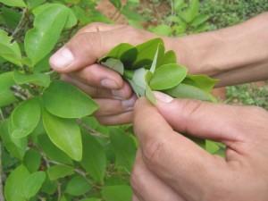 Antinutrientes de la hoja de coca evitan su biodisponibilidad en el organismo humano.