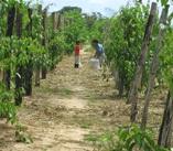 Cultivos de sacha inchi tiene gran potencial en el VRAE